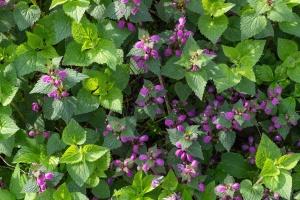 leaf, flower, lilac, plant, nature, garden