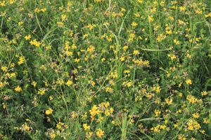 anlegget, blad, gress, gul, blomst, flora, eng