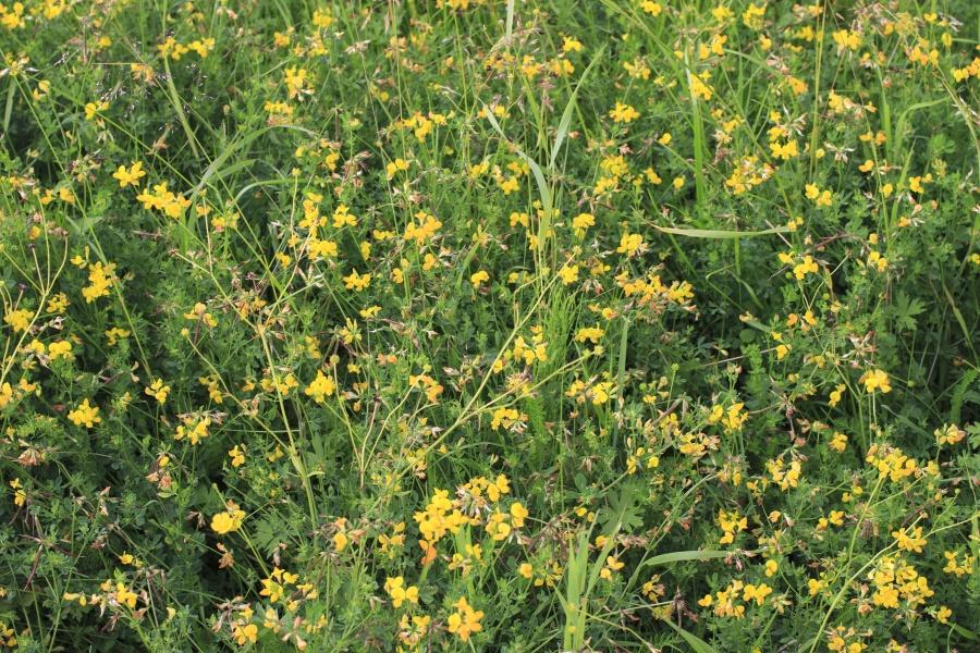 Pflanze, Blatt, Gras, gelb, Blume, Flora, Wiese