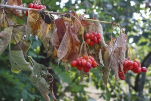berries, leaves, dry, fruit, food, nutrition, wood, branch