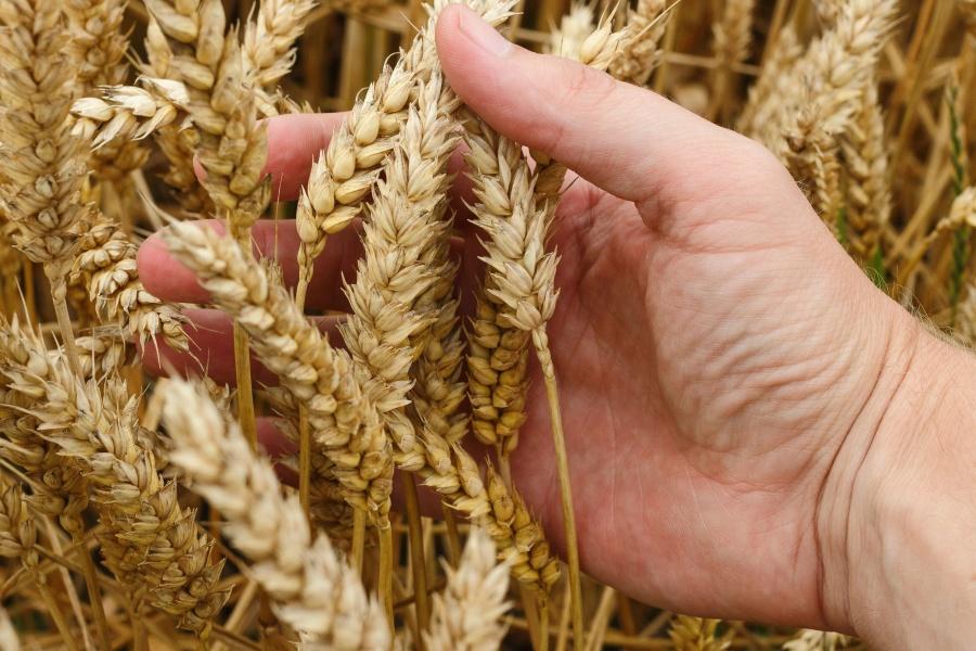 tarwe, graan, granen, landbouw, plattelandsontwikkeling, planten, boerderij, veld, zaad