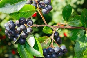 berry, fruit, wood, leaf, branch