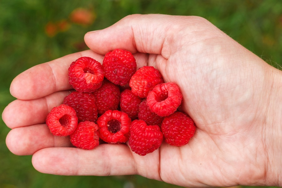 raspberry, fruit, fresh, nutrition, hand, plant, dessert