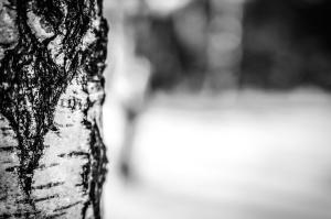 Birch tree, kayu, kulit, tekstur, kasar