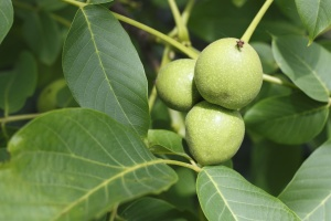 fruit, walnut, food, green, leaf, plant, branch