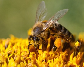 bee, pollen, flower, nectar, insect, wing, food