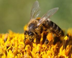 Abeja, polen, flor, néctar, insecto, ala, comida