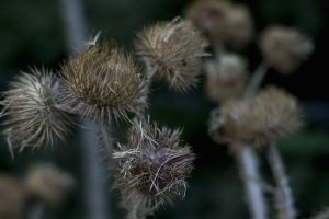 thistle, plant, weeds, meadow, dry, flower, seed