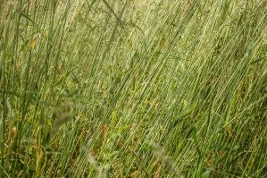 Herbe, champ, plante, pré, été, pelouse, croissance, printemps