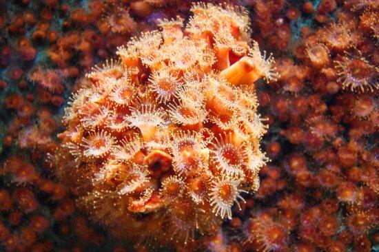 coral, underwater, sea, marine, ocean, water