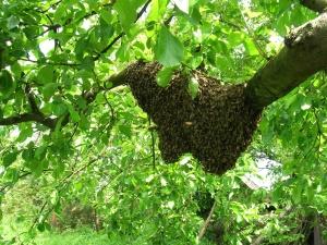 Biene, Insekt, Schwarm, Holz, Wald, Blatt, Natur