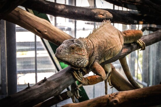 lizard, chameleon, animal, tree, reptile