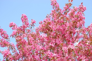 lilac, pink, flower, spring, blossom, plant, tree, branch