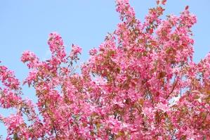liliowy, różowy, kwiat, wiosna, kwitnąć, roślin, drzewo, oddział
