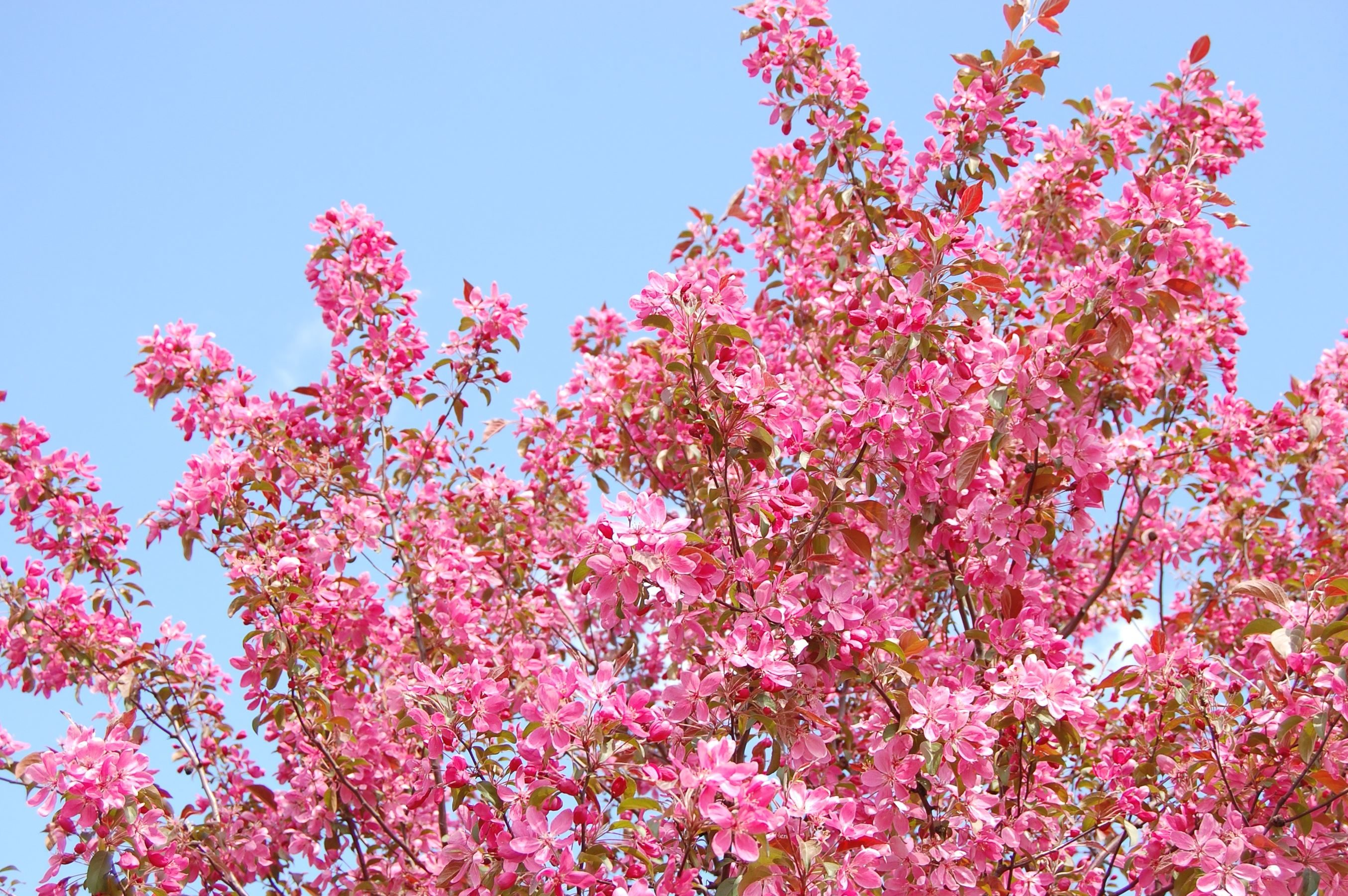 Kostenlose Bild: Lila, rosa, blume, frühling, blüte, pflanze, baum, zweig