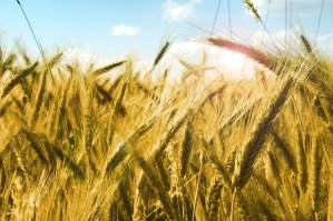 cereal, field, grain, rural, agriculture, farm, plant, summer, harvest
