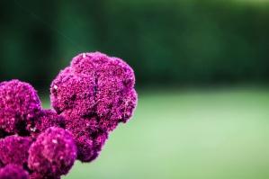 kwiat, fioletowy, roślin, różowy, kwiat, liść, wiosna, liliowy, ogród