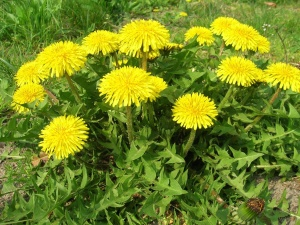 herb, dandelion, plant, flower, spring, leaf, summer, meadow