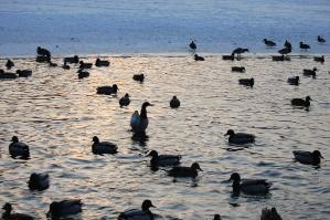 Duck, lake, skumring, vann, dyr, refleksjon