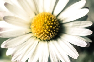 daisy, flower, garden, spring, bloom, plant, petal, floral, summer