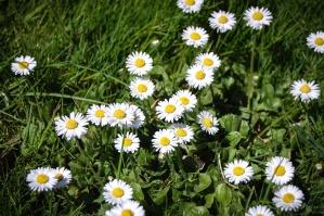 daisy, flower, blossom, garden, plant, spring, floral, summer