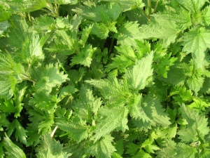 nettle, leaf, plant, nature, flora, green