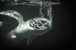loggerhead, turtle, sea, water, reptile, underwater