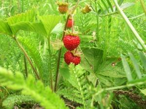 Frambuesa, fruta, bayas, dulce, maduro, comida, postre, hoja, fresco, arbusto