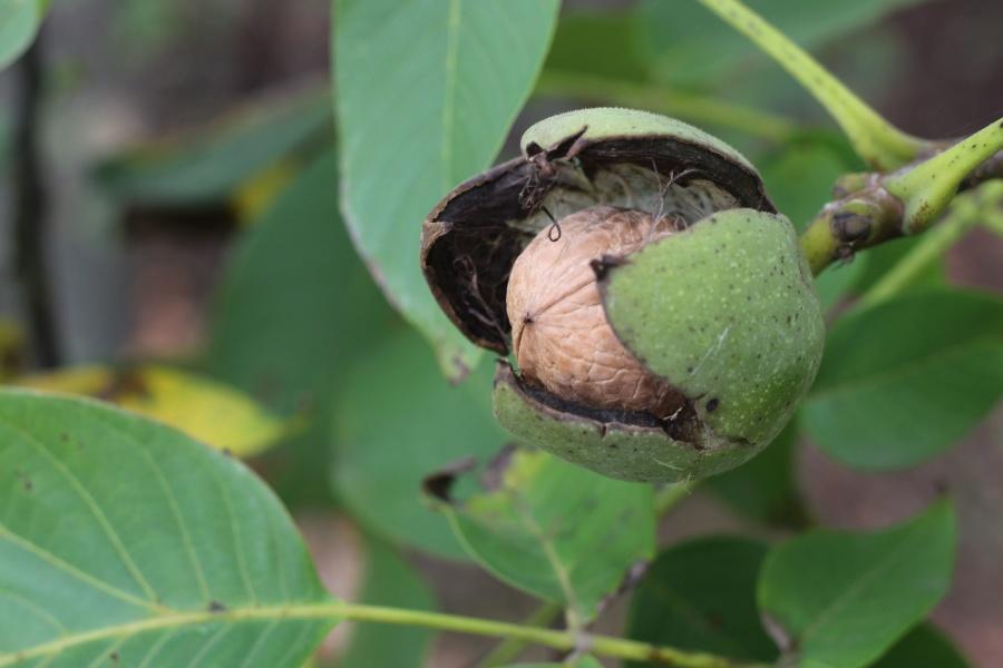wood, husk, nuts, leaf, plant, food, nutrition