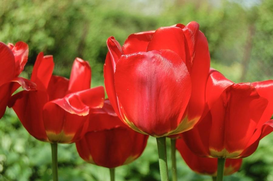 tulip, plant, spring, flower, garden, flora, blossom, bloom, field