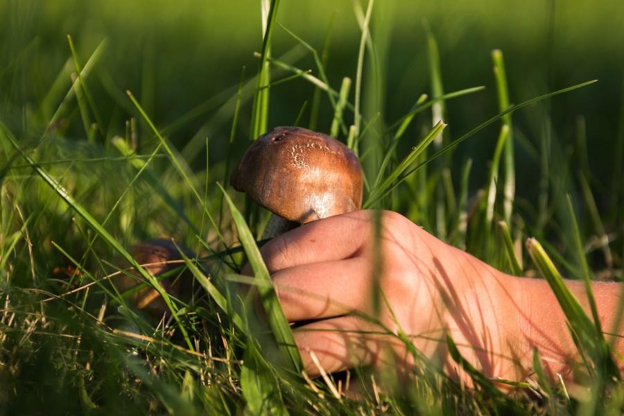 mushroom, herb, food, grass, hand, leaf