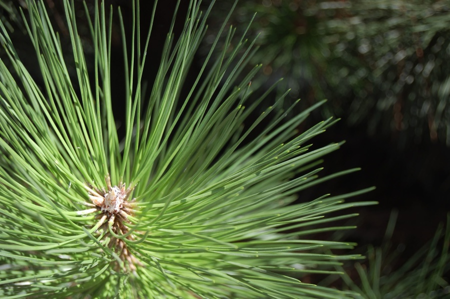 leaf, pine tree, conifer, fir, plant, tree, forest, branch, detail