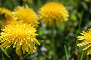herb, dandelion, plant, leaf, flower, spring, yellow, summer