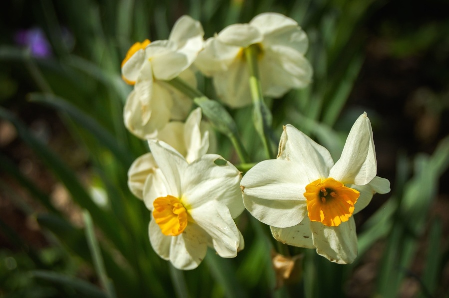 daffodil, flower, yellow, plant, flora, garden, blossom, pollen, nectar