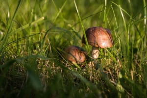 mushroom, food, grass, plant, nature, flora