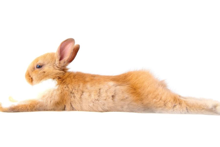 rabbit, animal, fur, pet