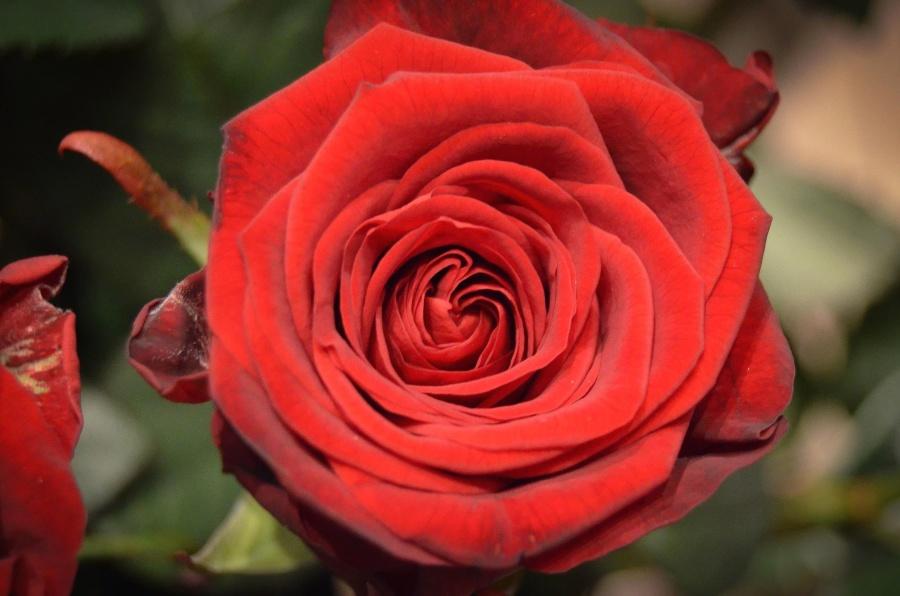 rose, flower, plant, blossom, petal, flora, red
