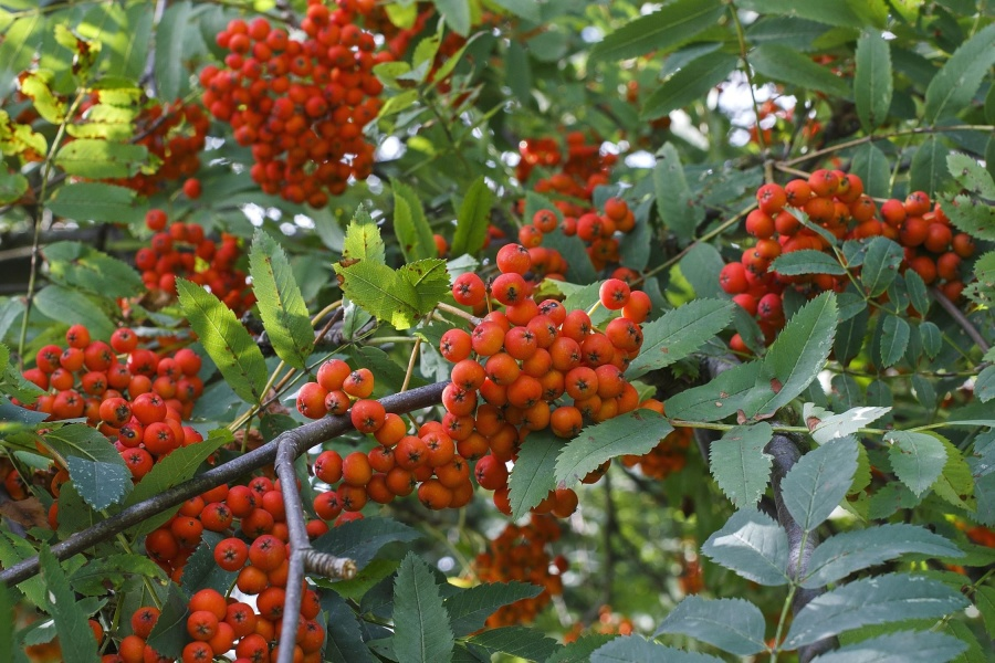 fruit, food, wood, leaf, branch, sweet, organic