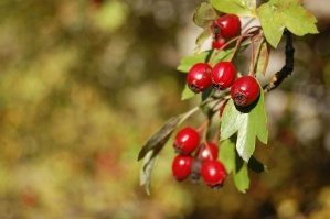 Бери, плодове, дърво, листа, растителни, храна, хранене