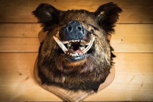 boar, tusk, fur, trophy, hunting, wild animal, animal