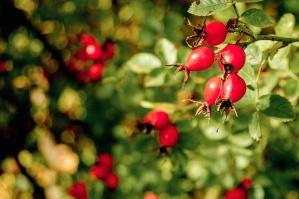 shrub, fruit, berries, leaf, ripe, branch, leaves