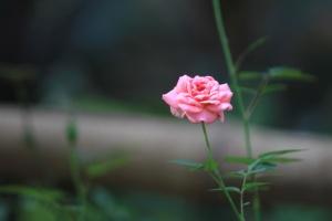 핑크, 장미, 꽃, 약초, 나무, 꽃잎, 식물, 꽃
