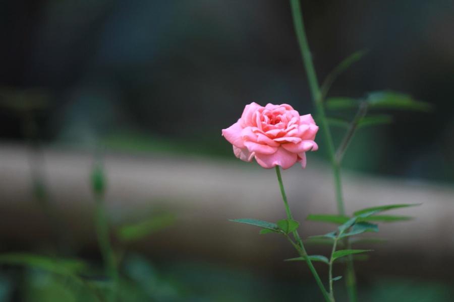 kostenlose bild rosa rose blume kraut strauch. Black Bedroom Furniture Sets. Home Design Ideas