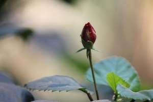 red, rose, flower bud, leaves, herb