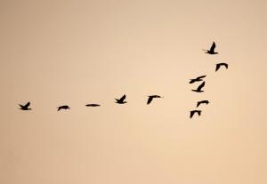 птица, стадо, формация, силует, черен, здрач, дизайн
