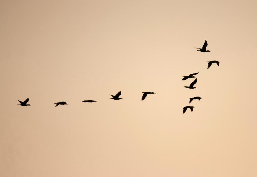 птах, стадо, формування, Силует, чорна, сутінки, дизайн