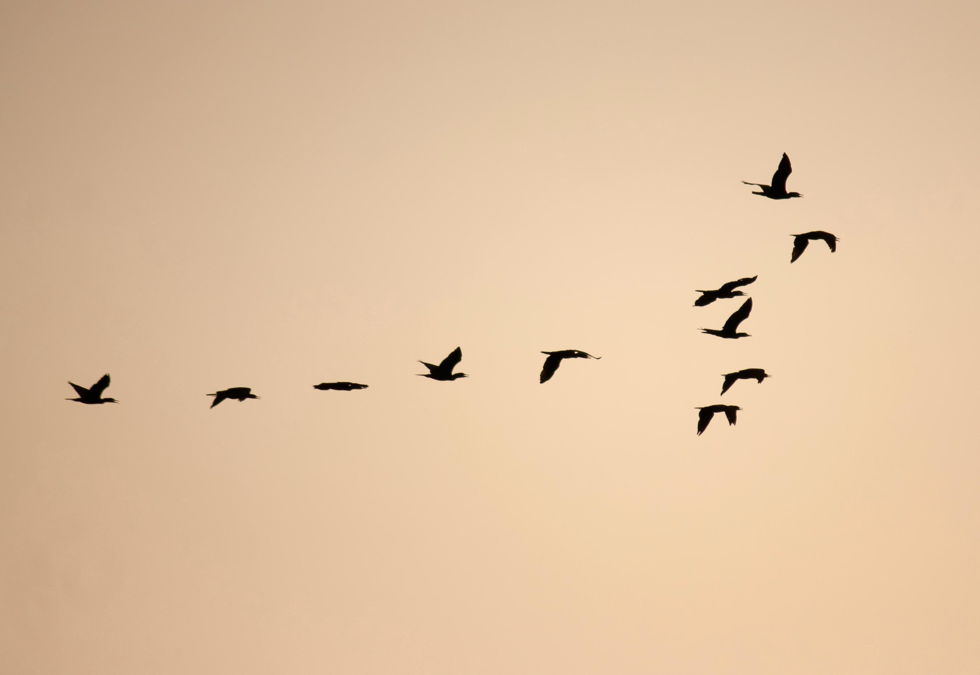 free picture  bird  flock  formation  silhouette  black