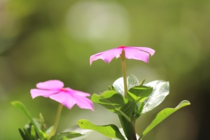 핑크, 꽃, 꽃잎, 식물, 정원, 꽃, 꽃, 봄, 잎, 식물