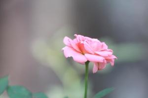 garden, flower, pink, rose, flower, petal, blossom, herb