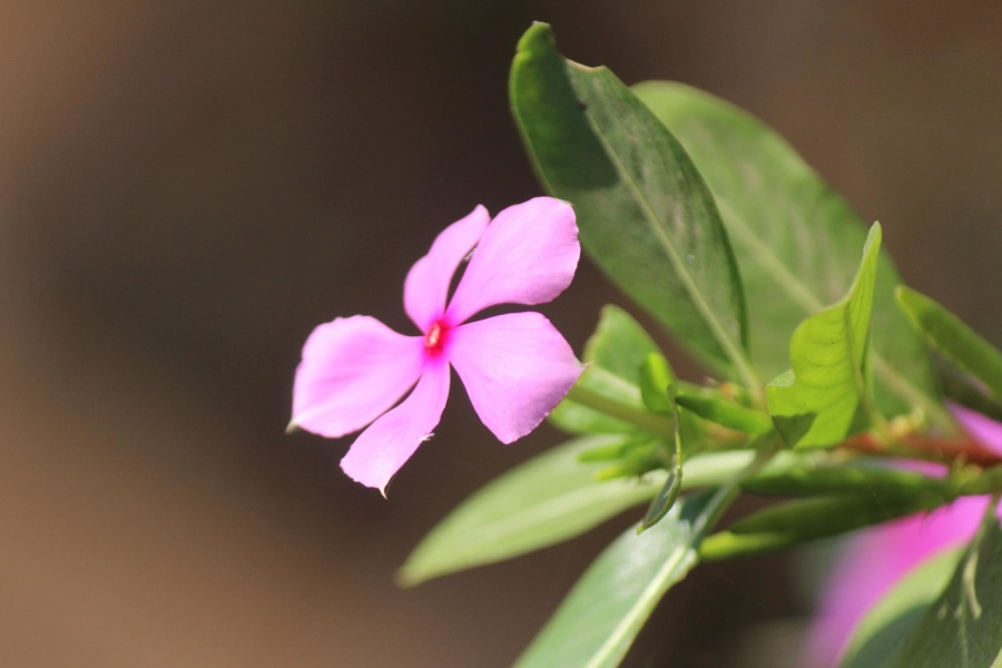 рожевий, квітка, Пелюстка, завод, вишні, orchid, рожевий